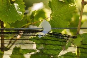 Using Cordall Net Closure Clip in the vineyard (5)