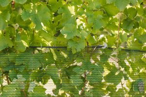 Using Cordall Net Closure Clip in the vineyard (9)